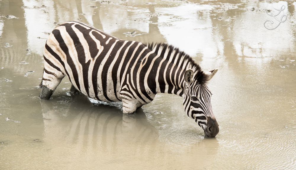You can lead a zebra to water
