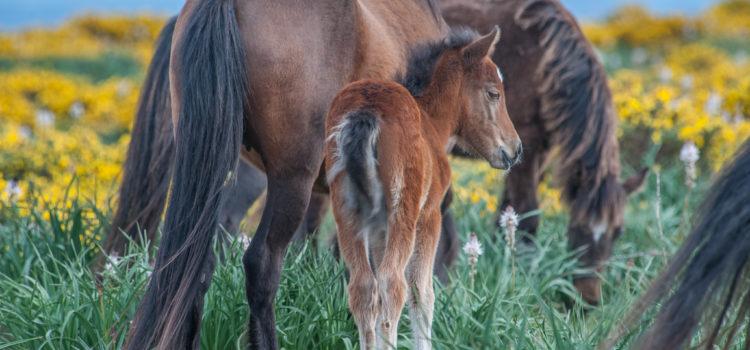 Le poney garrano, un objet de recherche depuis 2015
