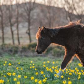 Garranos horses in Serra de Arga, from winter to spring.
