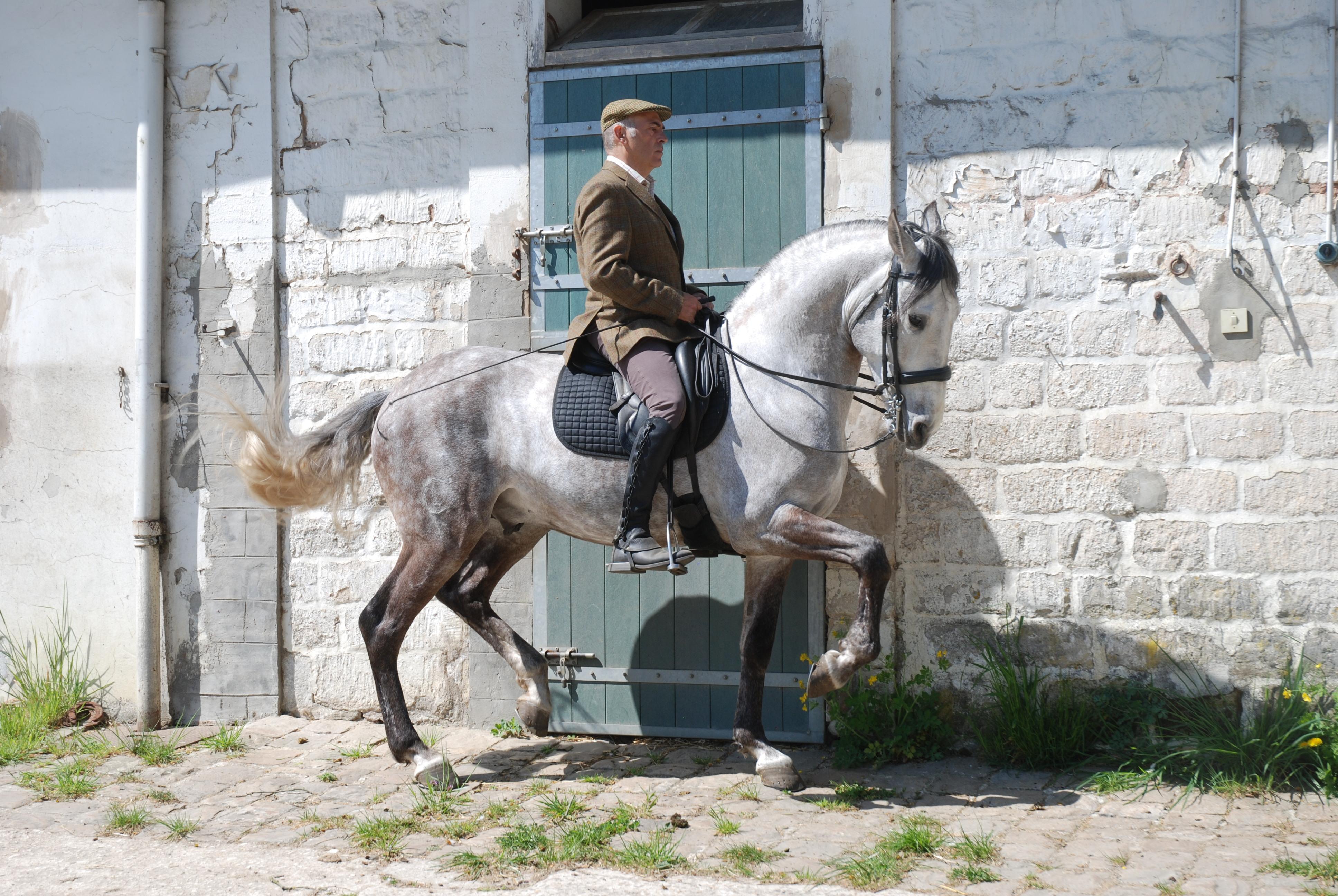 Évolution du travail des jeunes chevaux de l'écuyer Carlos Pereira