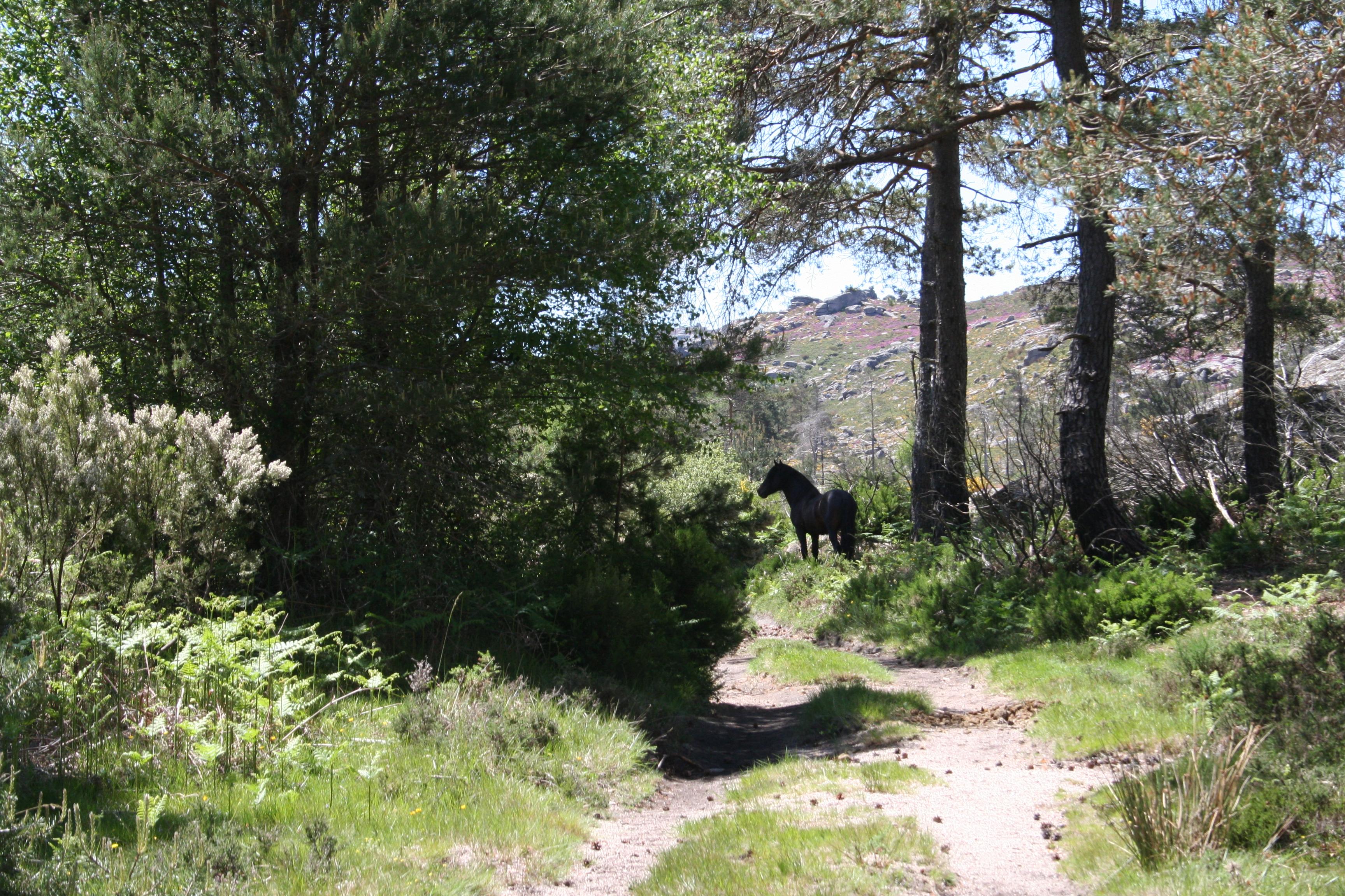 Le Professeur Matsuzawa découvre les poneys « Garranos » au Nord du Portugal